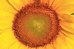 Sonnenblume-Hintergrund Lizenzfreies Stockbild