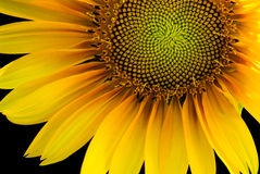 Sonnenblume hintergrundbeleuchtet auf einem schwarzen Hintergrund Lizenzfreie Stockfotos