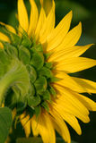 Sonnenblume-Hinterteil stockfotos