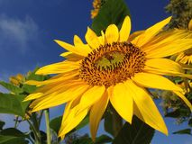 Sonnenblume Honey Bee Closeup Lizenzfreie Stockfotos