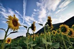 Sonnenblume II lizenzfreies stockbild