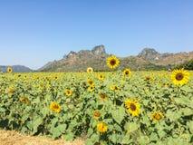 Sonnenblume im Bauernhof Stockbilder
