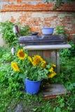 Sonnenblume im Eimer Lizenzfreie Stockbilder