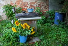 Sonnenblume im Eimer Lizenzfreie Stockfotos