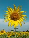 Sonnenblume im Garten Lizenzfreie Stockfotos