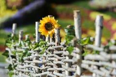 Sonnenblume im Garten Stockfoto