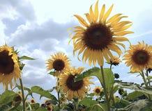 Sonnenblume im Garten Stockbild