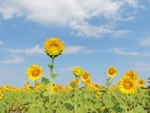 Sonnenblume im Garten Stockfotos