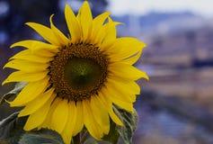 Sonnenblume im Garten lizenzfreies stockbild