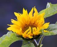 Sonnenblume im Morgen-Sonnenlicht Stockbilder