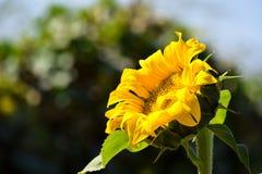 Sonnenblume im Punkt Stockfotografie