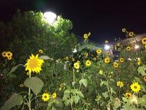 Sonnenblume im railstation Stockbild
