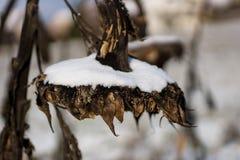 Sonnenblume im Schnee Stockfotografie