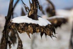 Sonnenblume im Schnee Lizenzfreie Stockfotografie