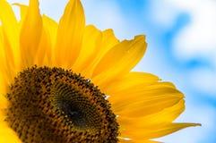 Sonnenblume im Sommer Lizenzfreies Stockfoto