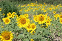 Sonnenblume im Sommer Stockbilder
