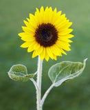Sonnenblume im sonnigen Garten Lizenzfreies Stockbild