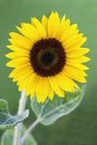 Sonnenblume im sonnigen Garten Lizenzfreie Stockfotos