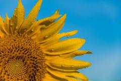 Sonnenblume im Tau des frühen Morgens Stockfoto