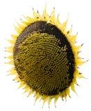 Sonnenblume im Weiß Lizenzfreies Stockbild