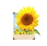 Sonnenblume im Weinlesefotorahmen mit Effekt 3d stockfoto