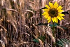 Sonnenblume im Weizen bei Sonnenuntergang Stockfotos