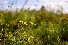 Sonnenblume ist ein Symbol der Einheit, Gerechtigkeit stockfotografie