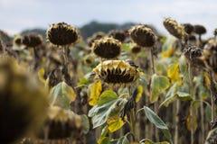 Sonnenblume ist reif und bereit zu ernten Stockfotografie