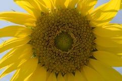 Sonnenblume in Italien Lizenzfreies Stockfoto