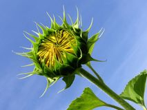 Sonnenblume-Knospe Stockfotografie
