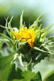 Sonnenblume-Knospe Stockfotos