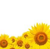 Sonnenblume lokalisiert auf weißem Hintergrund Lizenzfreie Stockfotos