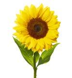 Sonnenblume lokalisiert auf Weiß mit Beschneidungspfad Lizenzfreie Stockbilder
