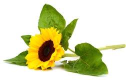 Sonnenblume lokalisiert auf weißem Hintergrund Stockfotografie