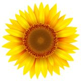Sonnenblume lokalisiert, Vektorblume stock abbildung