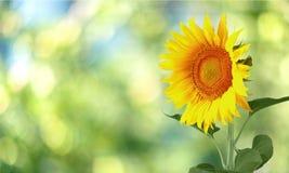 Sonnenblume, lokalisierte, einzelne Blume Lizenzfreies Stockfoto