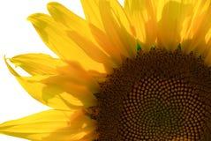 Sonnenblume-Makro Lizenzfreies Stockbild