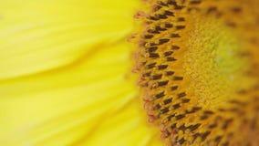 Sonnenblume - Makrotrieb stock video