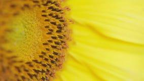 Sonnenblume - Makrotrieb stock video footage