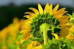 Sonnenblume Mandela Stockbild