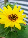 Sonnenblume in meinem Hinterhof Stockfotografie