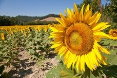 Sonnenblume mit anderen Stockbild