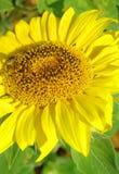 Sonnenblume mit Biene Stockfoto