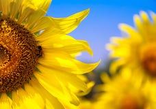 Sonnenblume mit Biene   Lizenzfreies Stockbild