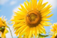 Sonnenblume mit Biene Stockbild