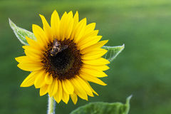 Sonnenblume mit Biene Stockbilder