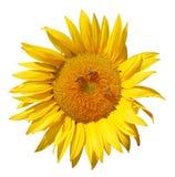 Sonnenblume mit Bienen Stockbild