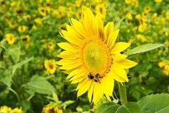 Sonnenblume mit Bienen Stockfotografie