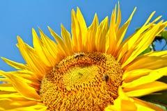 Sonnenblume mit Bienen lizenzfreie stockfotografie