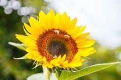 Sonnenblume mit Bienen auf ihr Stockfotos